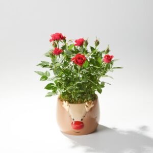 Rudolph Rose Planter