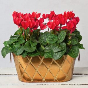 Red Cyclamen Duo