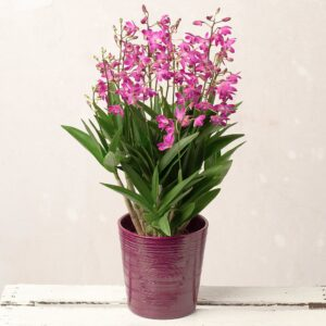 Berry Oda Orchid Plant