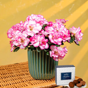 Candy Floss Azalea - Plant Delivery - Indoor Plants - Indoor Plant Delivery - Plant Gifts - Plant Gift Delivery