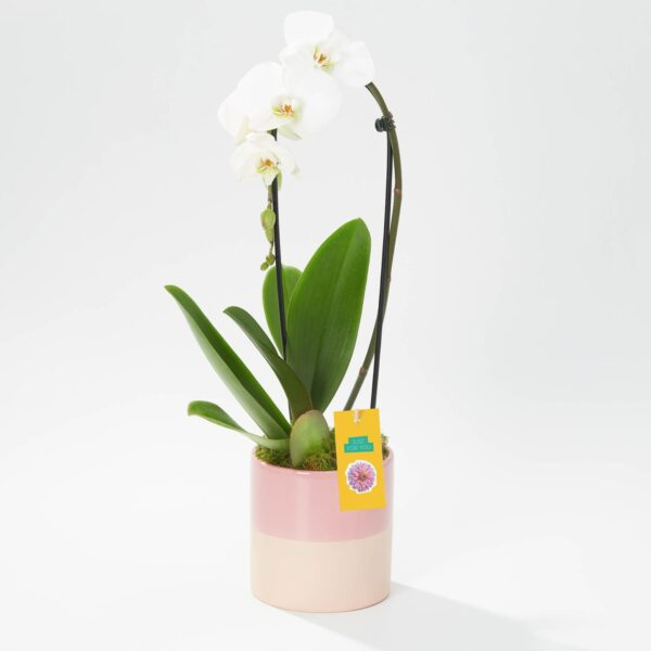 Cascade Orchid