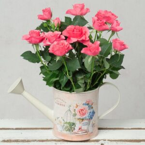 Pink Rose in Vintage Watering Can