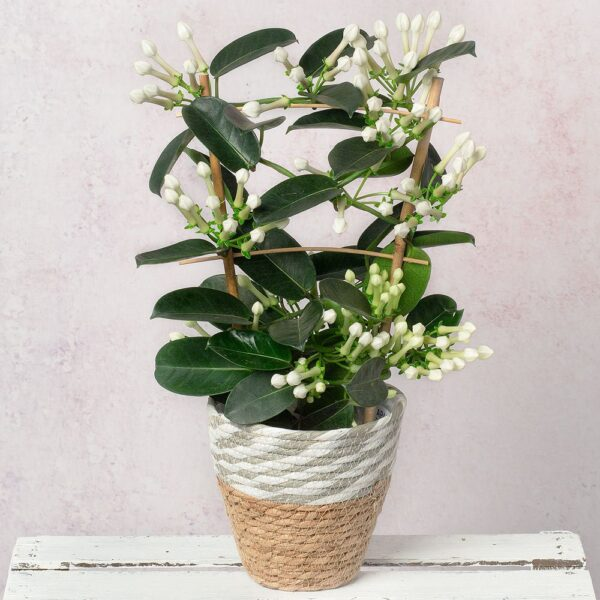 White Stephanotis
