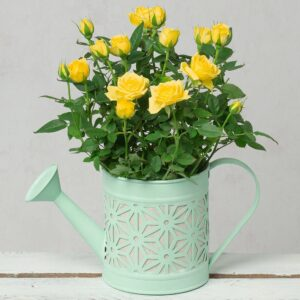 Yellow Rose in Watering Can